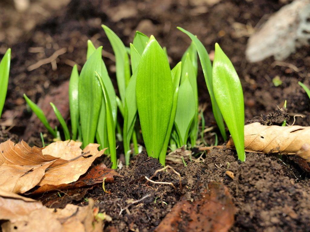 Wild garlic spring 2015